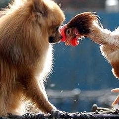 Характеристика любовной совместимости Собаки и Петуха по Восточному гороскопу