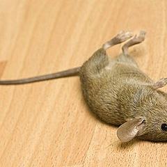Приснились мертвые мыши: как правильно толковать по сонникам